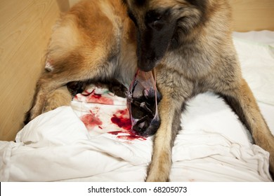 a Belgian Shepherd bitch helping her newborn puppy to get out of the amnion