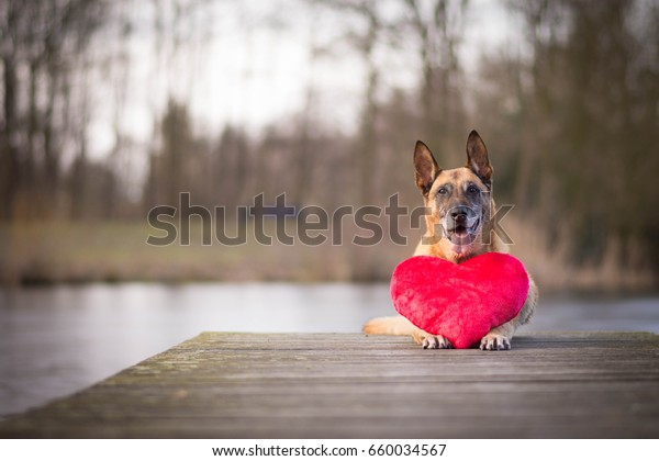 Belgian shepherd dog with heart pillow