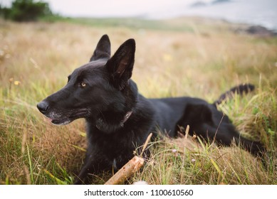 Belgian shepherd dog lying in the field in nature