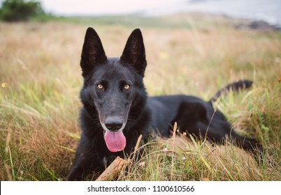 Belgian shepherd dog lying in the field in nature