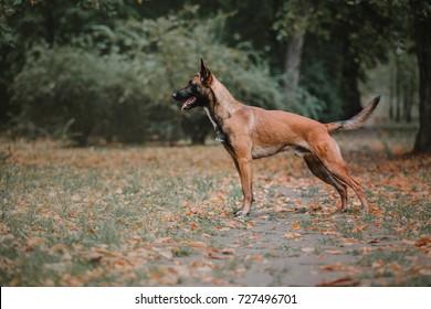 Belgian Shepherd dog (Malinois dog)