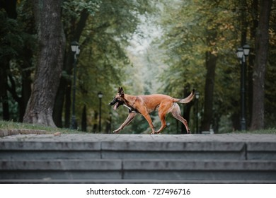 Belgian Shepherd dog (Malinois dog)