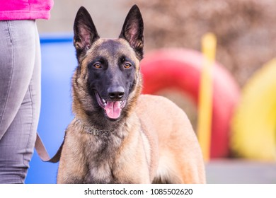 Belgium Malinois Images Stock Photos Vectors Shutterstock