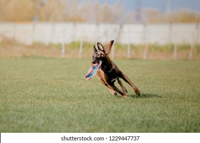 Belgian Shepherd Dog (Malinois) catching a plastic disc