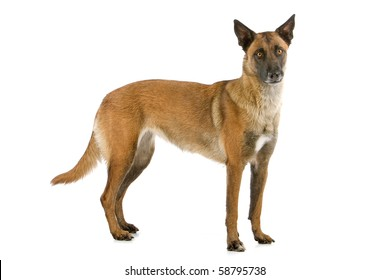 Belgian Shepherd Dog Malinois isolated on a white background