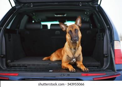 Belgian Shepherd dog Malinois lying in a car trunk