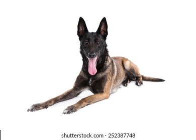 Belgian Shepherd Dog (Malinois) on a white background