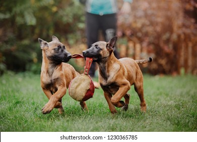 Belgian Shepherd Dog (Malinois dog) Puppy