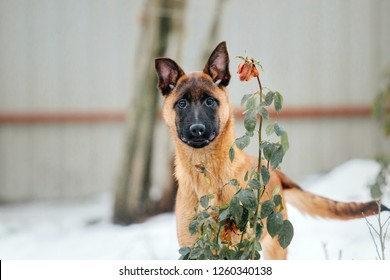 Belgian Shepherd Dog (Malinois dog) Puppy