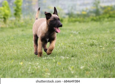 Belgian shepherd dog malinois puppy play. Young puppy playing.