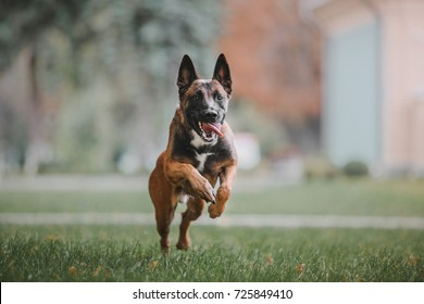 Belgian Shepherd dog (Malinois dog) running at autumn park