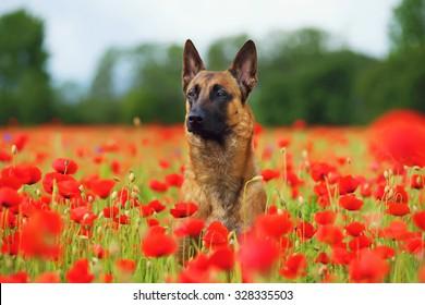 Belgian Shepherd dog Malinois sitting in a poppy field