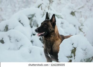 Belgian Shepherd Dog (Malinois dog) in winter. Snowing background. Winter forest