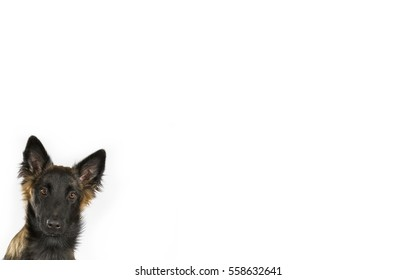 Belgian shepherd dog portrait isolated on white for copy space use. Room for text. Indoor image.
