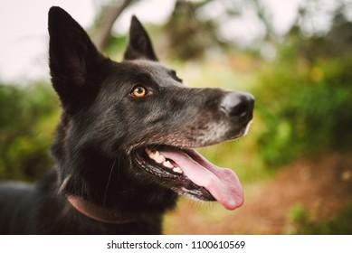 Belgian shepherd dog portrait in nature