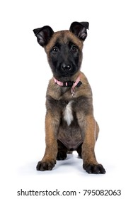 Belgian shepherd dog / puppy sitting facing front looking at camera isolated on white background