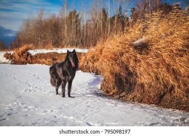 Belgian shepherd dog in snowy forest in winter