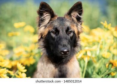 Belgian shepherd dog Tervueren yellow flowers