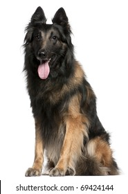 Belgian Shepherd dog or Tervuren panting, 12 years old, sitting in front of white background