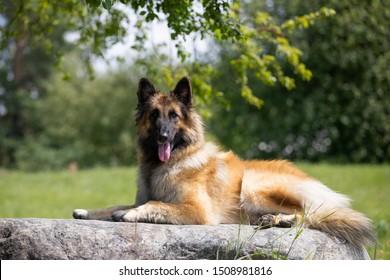 Belgian Shepherd Dog, Tervuren, posing in summer