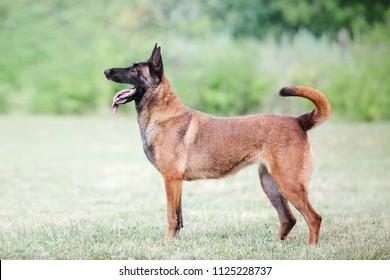 The Belgian Shepherd dog (The Malinois)