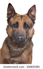 Belgian Shepherd in front of a white background