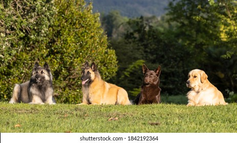 Belgian shepherd male and female, Australian Kelpie male and Golden retriever male all laying in the grass