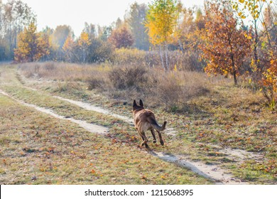 Belgian Shepherd Malinois breed. Senior dog at walk. Life of pets. Concept of relationship animals and human