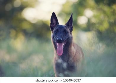 Belgian Shepherd Malinois dog in nature