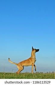 Belgian Shepherd Malinois Dog & Sky