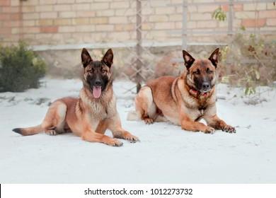 Belgian Shepherd Malinois dogs
