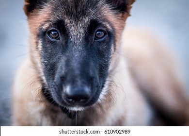 Belgian shepherd malinois female puppy closeup. Serious look into camera.