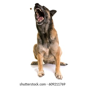 belgian shepherd malinois in front of white background