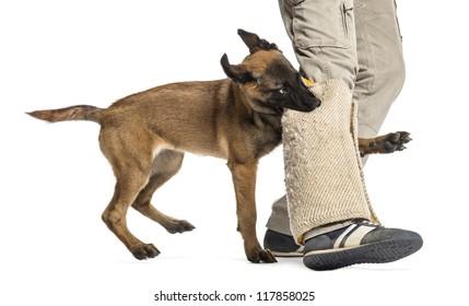 Belgian shepherd puppy biting protected leg against white background