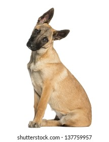 Belgian Shepherd sitting and facing, 5 months old, isolated on white