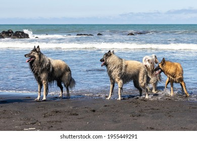 Belgian Shepherd Tervuren and brown bearded collie running in the waves at the beach