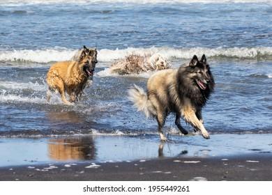 Belgian Shepherd Tervuren running in the waves at the beach