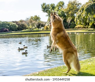 Belgian Shepherd Tervuren standing on hind legs at a pond watching the ducks