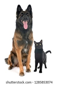 belgian shepherd tervurenand cat in front of white background