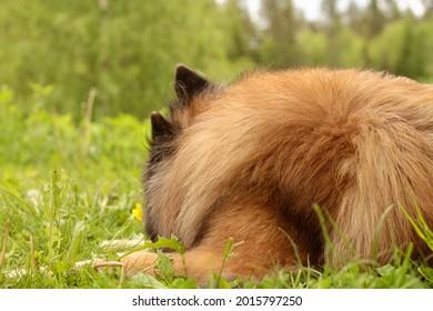 Belgian tervueren sleeping outside in the grass