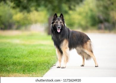 Belgian Tervuren Show Dog