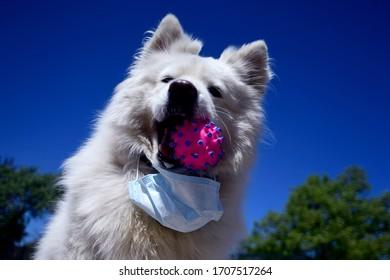 Belgrade, Serbia 17.04.2020. Samoyed dog playing with corona like toy, wearing a face mask, as illustration that dogs do not transmit disease.