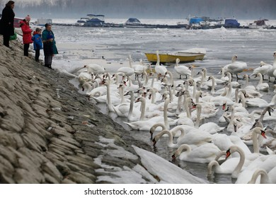 Belgrade, Serbia - February 2. 2017.  Swans resting on a fragment of an unfrozen river surrounded by snow and ice in a winter landscape in Belgrade, Serbia