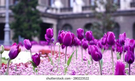 Belgrade tulips
