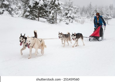 BELIS, ROMANIA - FEBRUARY 6: Unidentified man participating in the First Dog Sled Racing Contest with Husky dogs. On February 6, 2015 in Belis, Romania