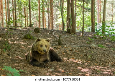 Belitsa, Bulgaria - June 24, 2015: Brown bear in Dancing Bears Park, founded by French actress Brigitte Bardot
