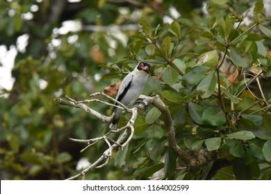Belize City, Belize. April 9, 2017. Masked Tityra. Tityra semifasciata