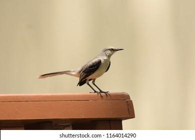 Belize City, Belize. April 9, 2017. Tropical Mockingbird. Mimus gilvus