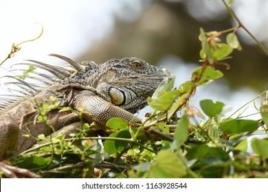Belize City, Belize.  April 9, 2017.Green Iguana. Iguana iguana