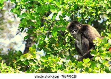Belize City, Belize - September 21, 2015 - Black howler monkey on top of a tree